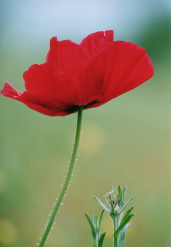 red-poppy-flowers-picture-lowres